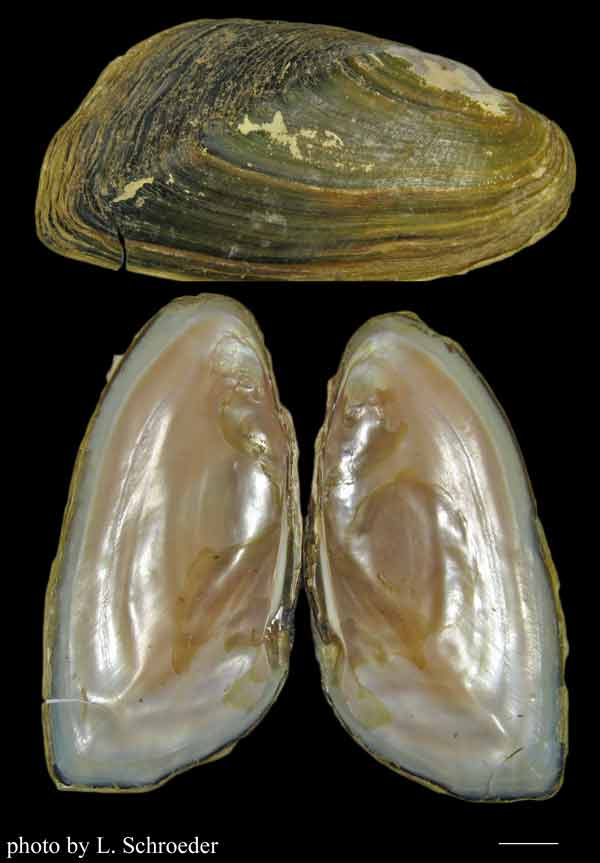 how to catch freshwater mussels